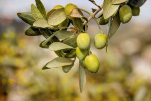 maslinovo ulje varenje