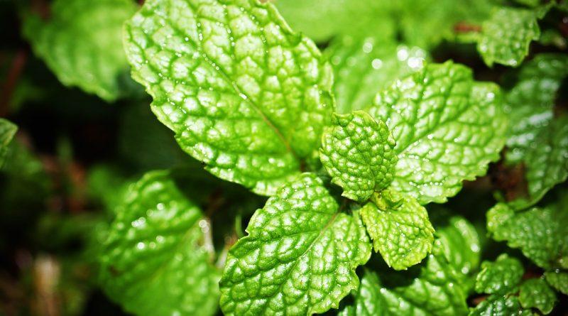 Metvica, nana, menta, morfijum, biljka, ublažava bol, protiv bolova, raslađujuće, ulje