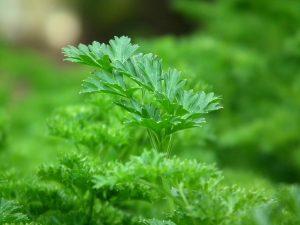 Peršun, otok nogu, tečnost, čaj, bubrezi, poremećaj, izbacivanje tečnosti, diuretik, zelen, peršun