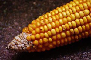 Gluten, bezglutenska ishrana, namirnice bez glutena, intolerancija na gluten, proso, kukuruz, ovas, šećerna trska